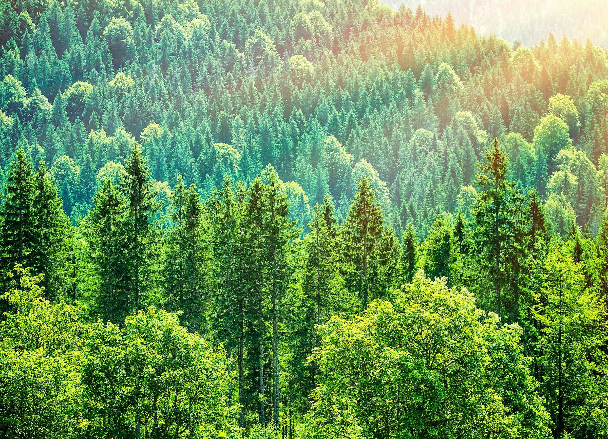 Pine woods in Europe
