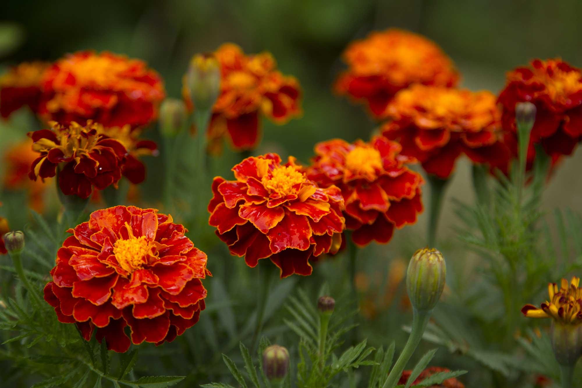 Tagetes (Marigold)