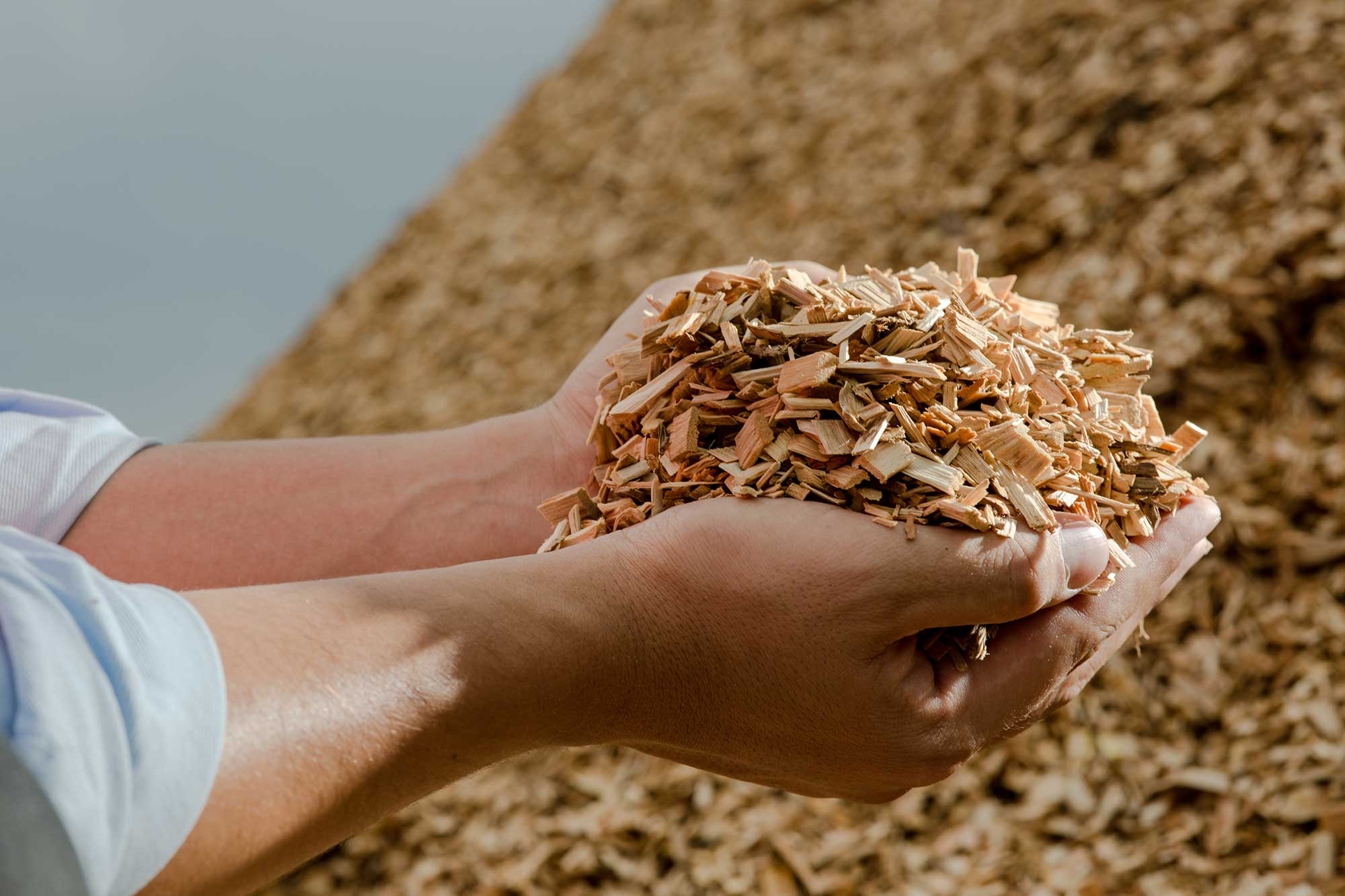 Hand with wood chips: biomass