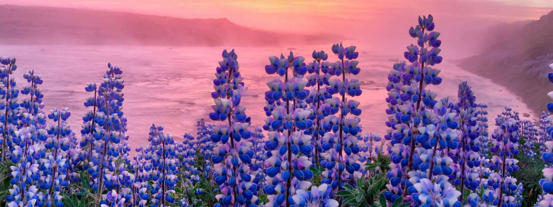 Lupins in Iceland